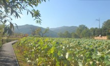 39_and_a_lotus_field.jpg